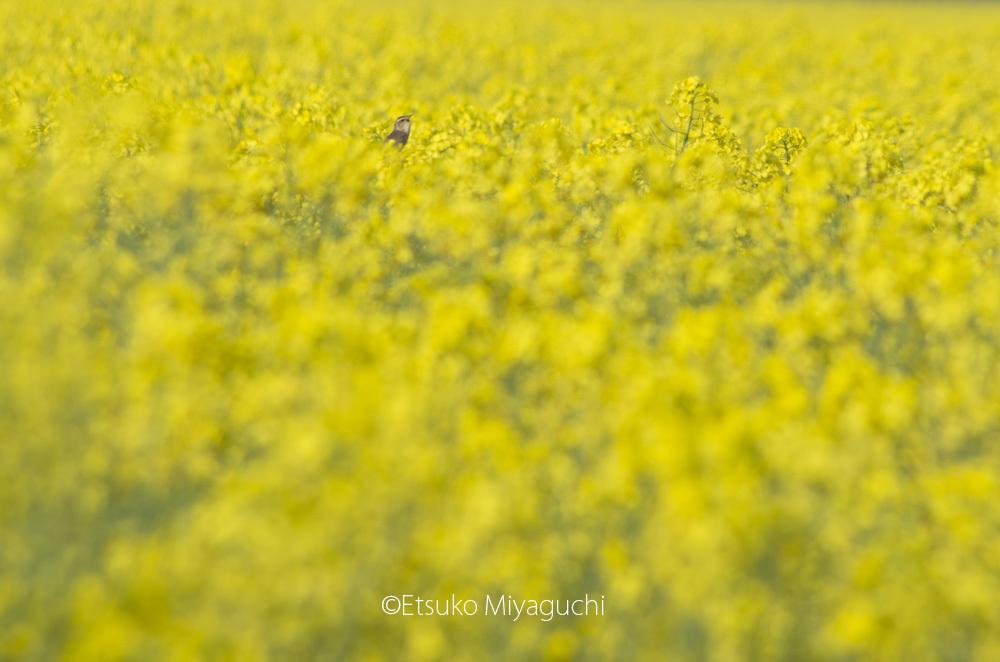 黄色の花園で_f0152939_05430749.jpg