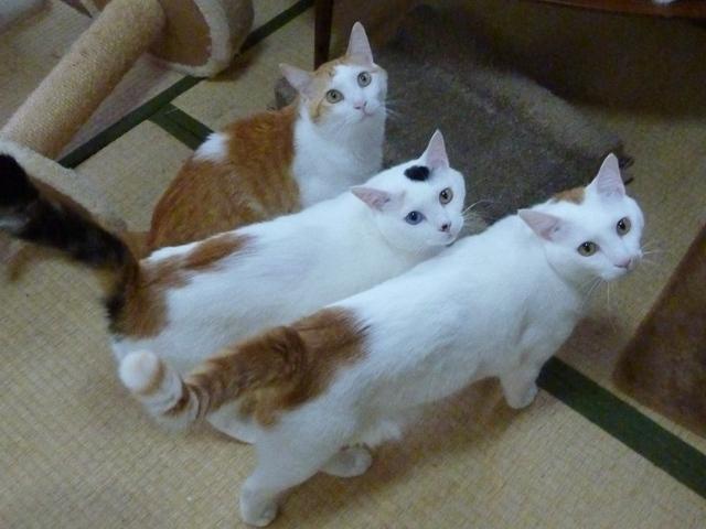 猫のお留守番 チロくんアイドルくんオッドちゃん編。_a0143140_22550983.jpg