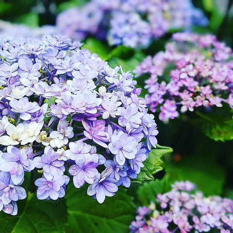 雨上がりの紫陽花~2019_f0043559_1830620.jpg