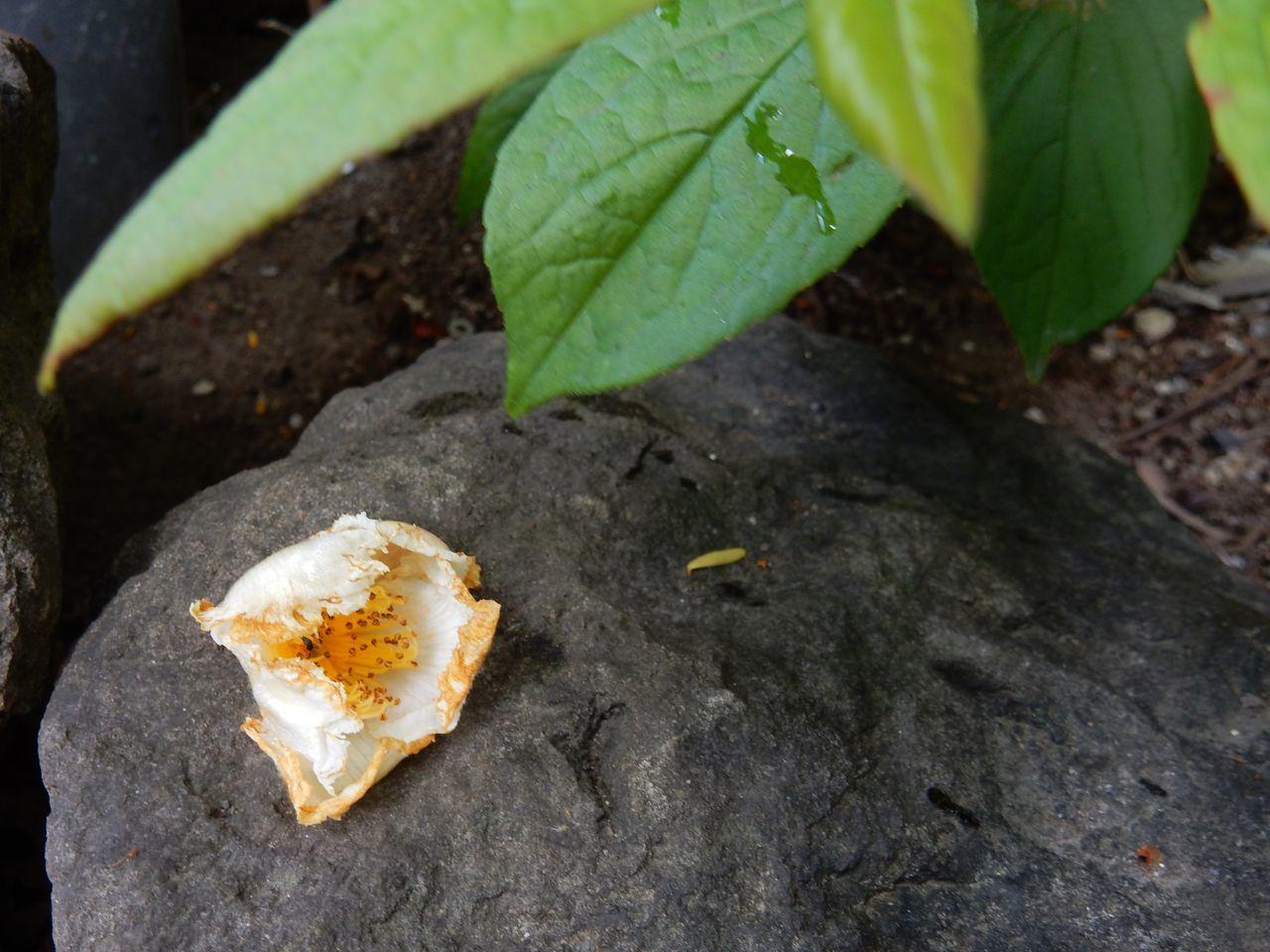 花落ちてナツツバキの季節が始まったことを知る_c0025115_22025986.jpg