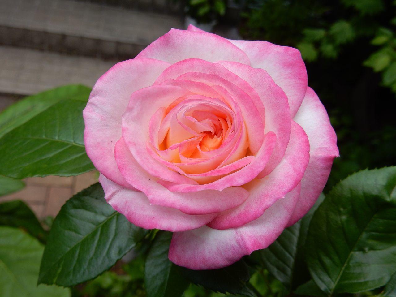 花落ちてナツツバキの季節が始まったことを知る_c0025115_22094608.jpg
