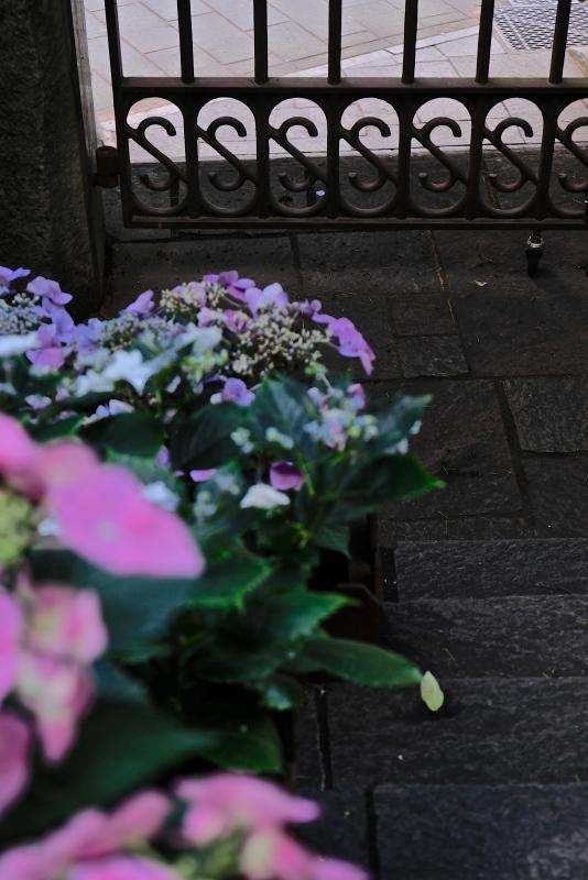 シーボルトと紫陽花_f0315034_15484997.jpg
