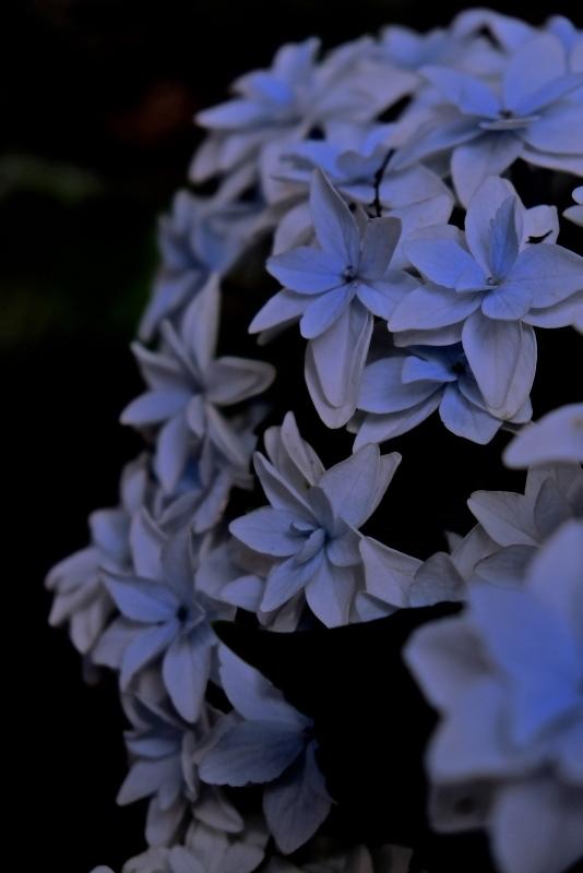 シーボルトと紫陽花_f0315034_15485719.jpg