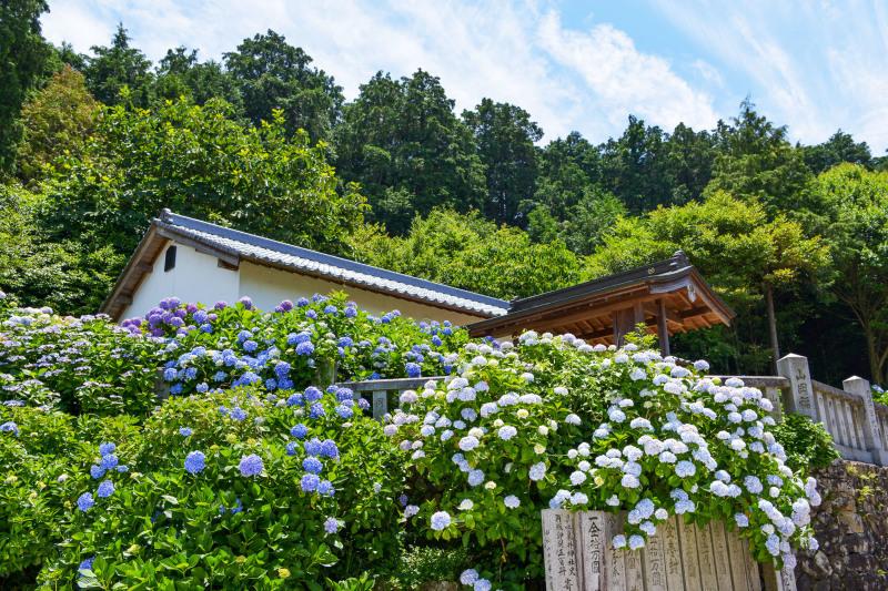 粟井神社 2019 アジサイの神社_d0246136_19030434.jpg