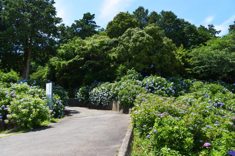 粟井神社 2019 アジサイの神社_d0246136_19031787.jpg