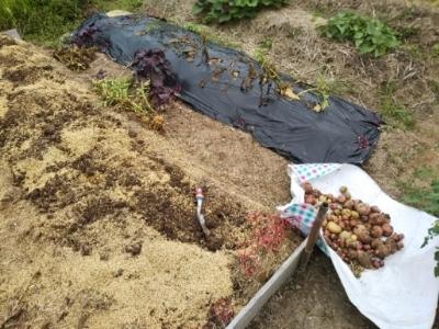 やっと玉ねぎジャガイモ収穫終了・・・南国畑_c0330749_17412081.jpg