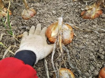やっと玉ねぎジャガイモ収穫終了・・・南国畑_c0330749_18014483.jpg