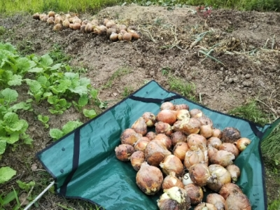 やっと玉ねぎジャガイモ収穫終了・・・南国畑_c0330749_18031866.jpg