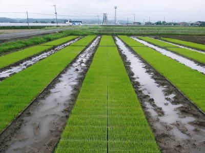 無農薬栽培の発芽玄米、雑穀米、米粉大好評発売中!「健康農園」さんの令和元年度の米作り!苗床の様子!_a0254656_18345976.jpg
