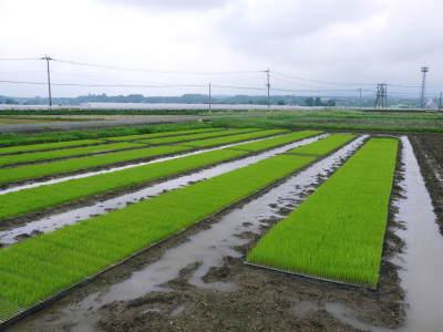 無農薬栽培の発芽玄米、雑穀米、米粉大好評発売中!「健康農園」さんの令和元年度の米作り!苗床の様子!_a0254656_18372471.jpg