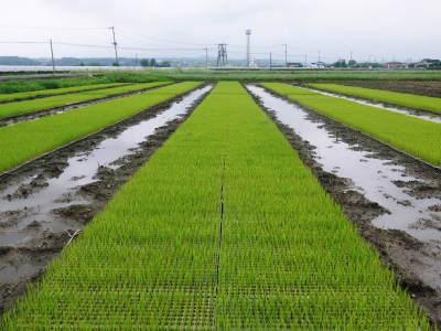 無農薬栽培の発芽玄米、雑穀米、米粉大好評発売中!「健康農園」さんの令和元年度の米作り!苗床の様子!_a0254656_18531545.jpg