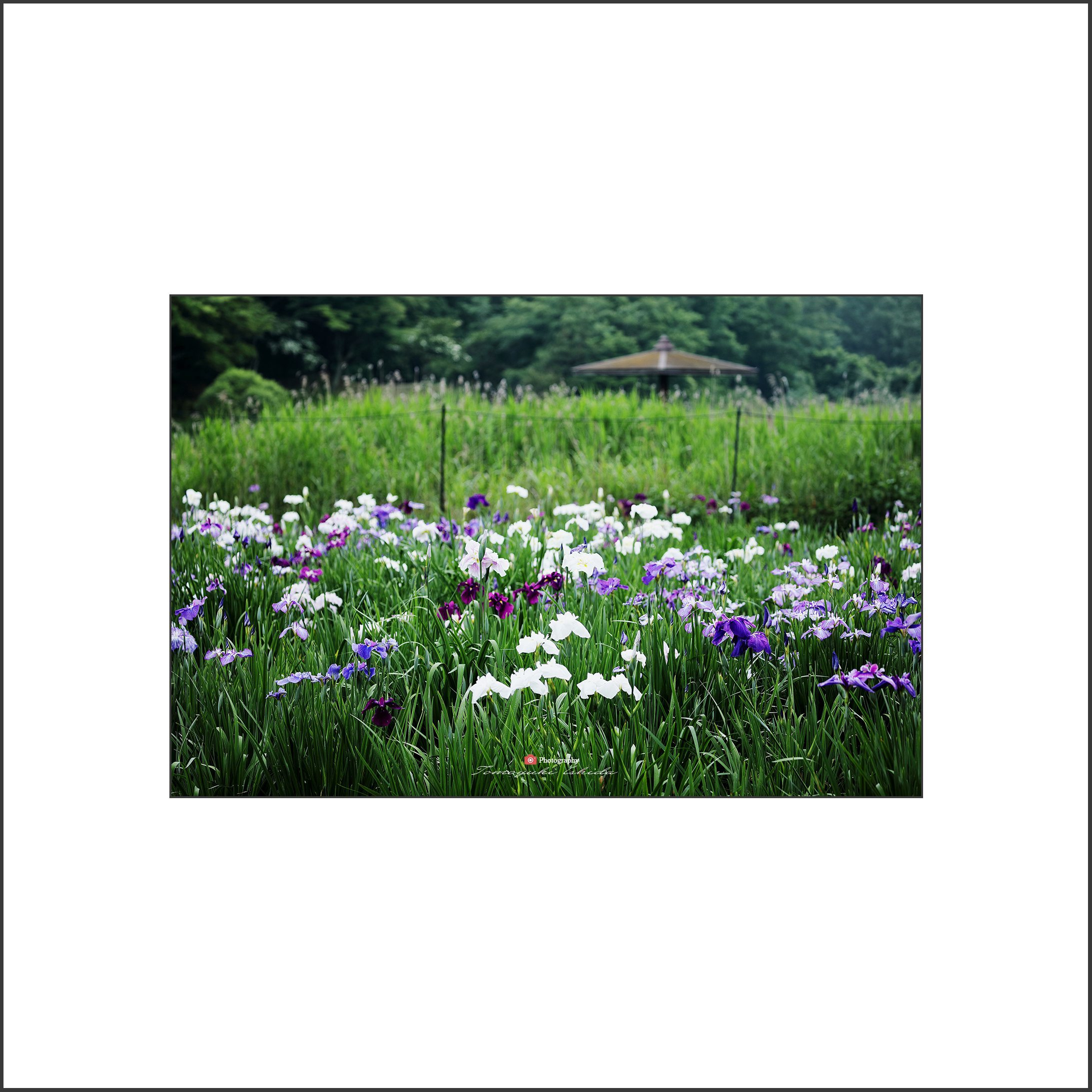 花しょうぶ Ⅱ-1_c0253556_04190645.jpg