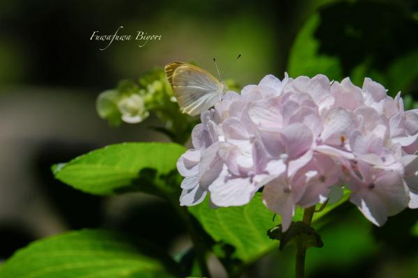 紫陽花の向う側 **_d0344864_21484445.jpg