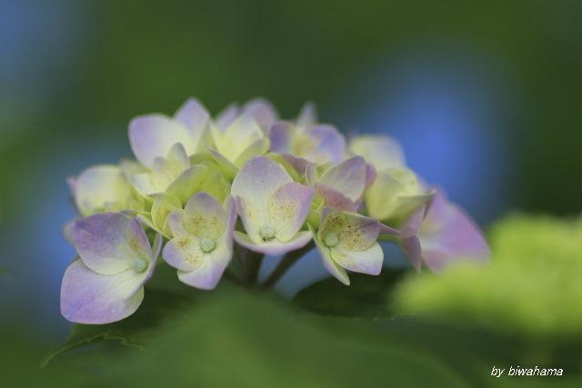 紫陽花と出会い_b0055171_10560547.jpg