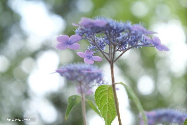 紫陽花と出会い_b0055171_10562879.jpg
