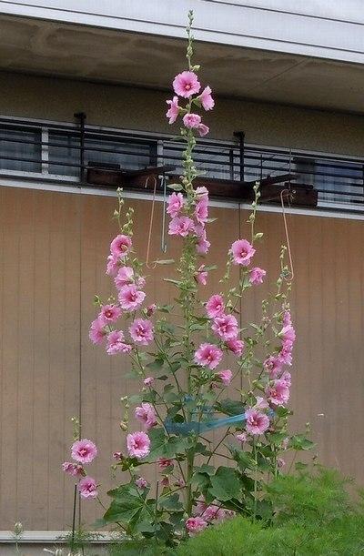 梅雨入りを告げる花、梅雨明けを告げる花_b0102572_17522215.jpg