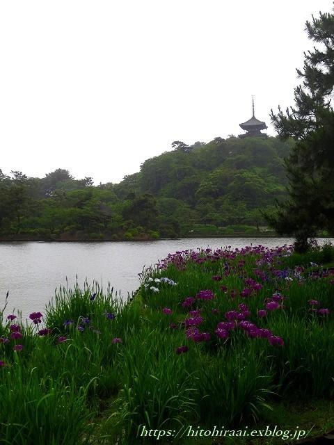 三渓園の花菖蒲_f0374092_23515900.jpg