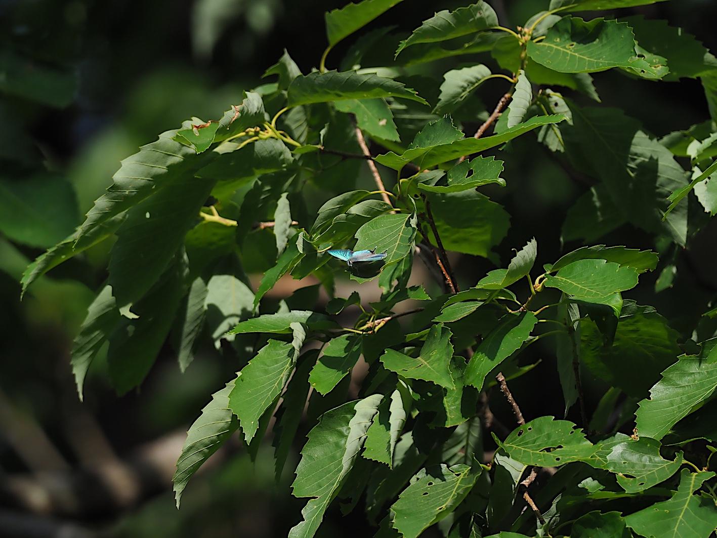 オオミドリシジミの開翅シーン(2019年6月10日)_d0303129_7195140.jpg