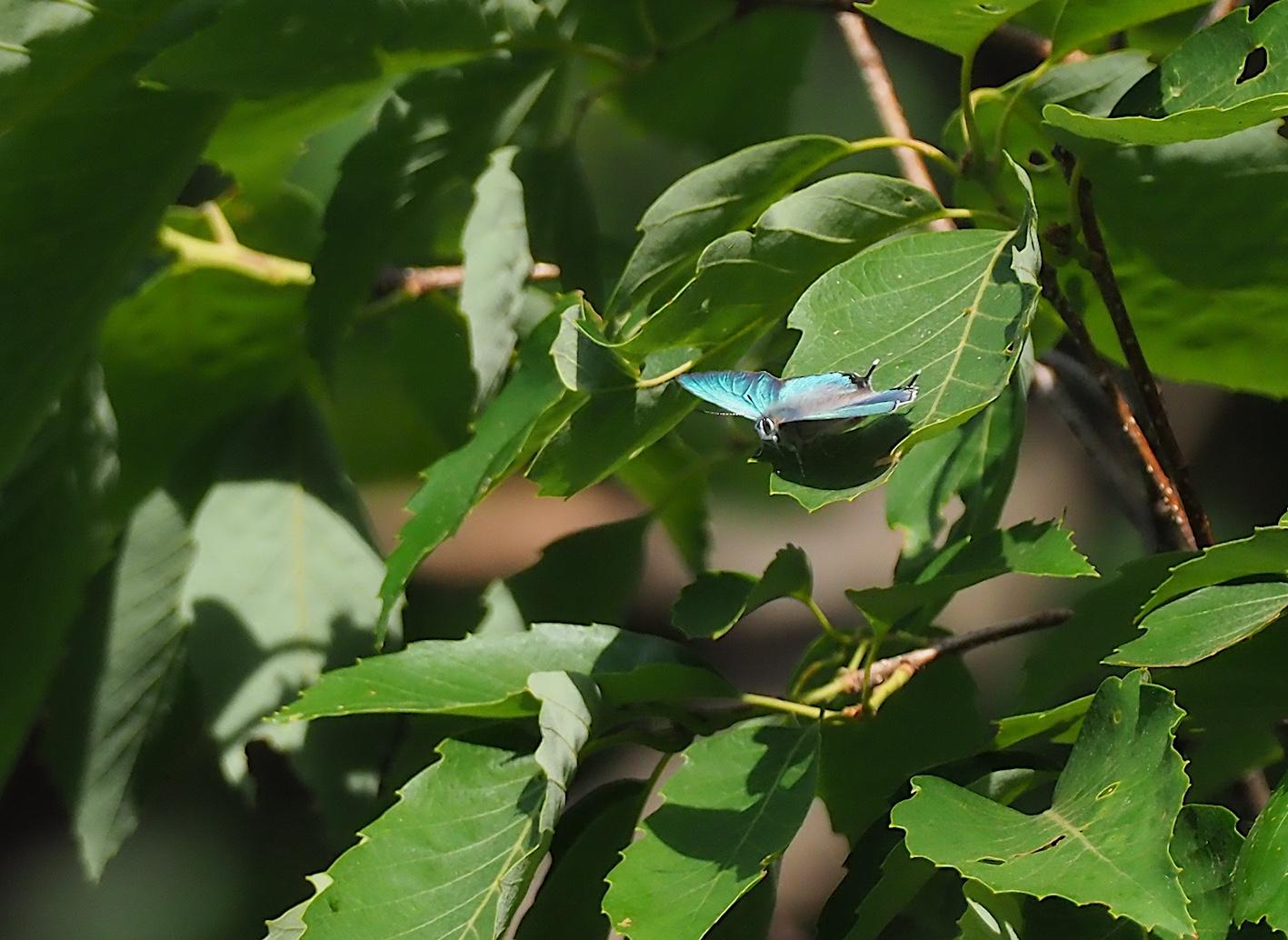 オオミドリシジミの開翅シーン(2019年6月10日)_d0303129_719596.jpg