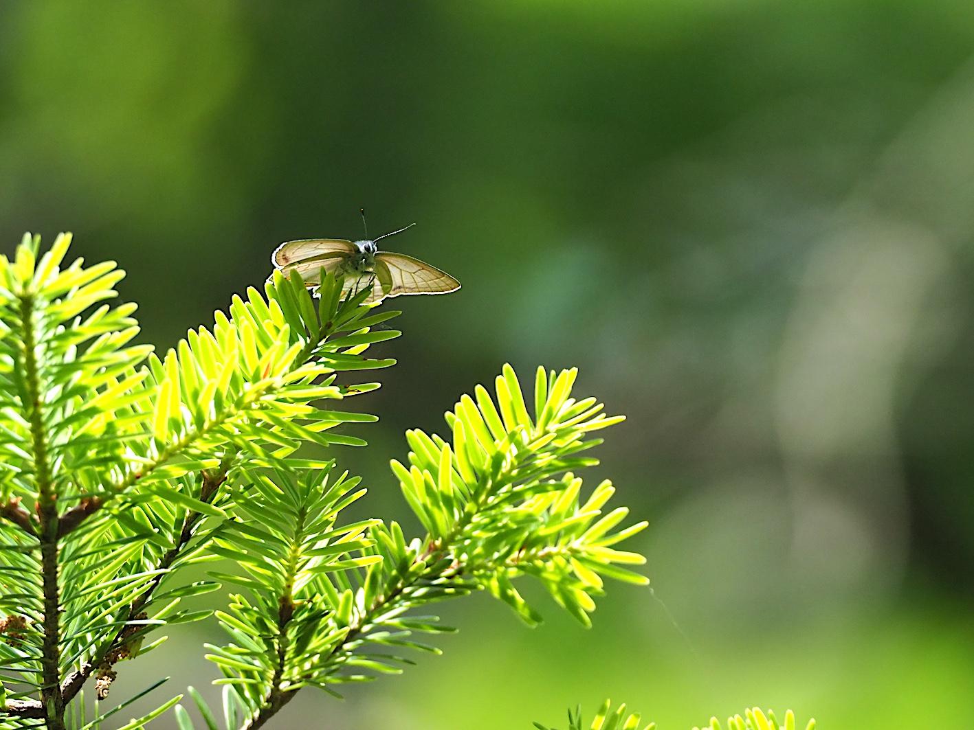 オオミドリシジミの開翅シーン(2019年6月10日)_d0303129_7202092.jpg