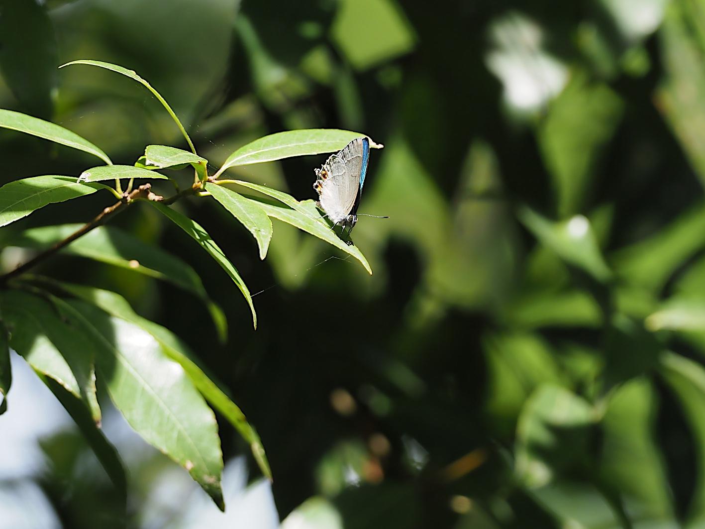 オオミドリシジミの開翅シーン(2019年6月10日)_d0303129_7203555.jpg