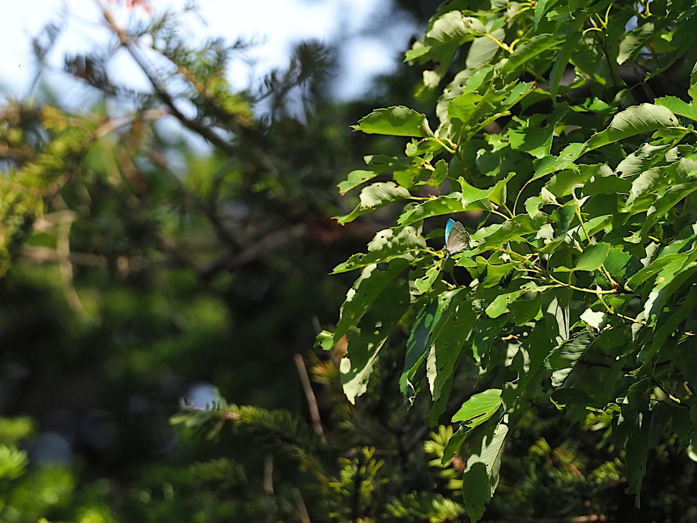 オオミドリシジミの開翅シーン(2019年6月10日)_d0303129_720674.jpg