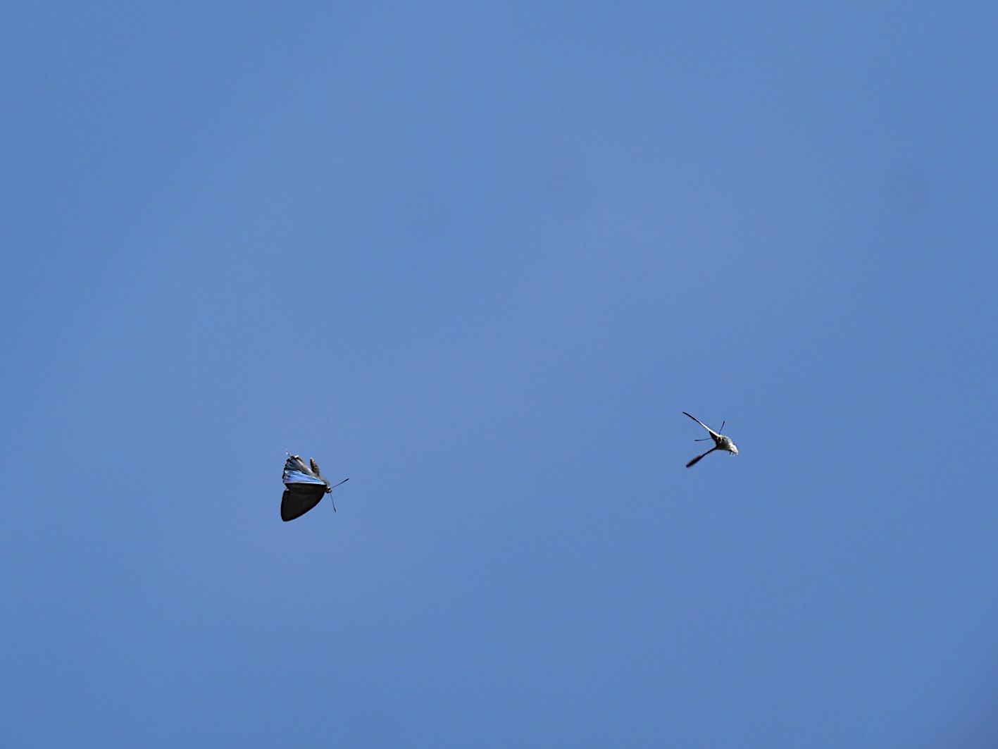 オオミドリシジミの飛翔シーン(2019年6月11日)_d0303129_7251656.jpg