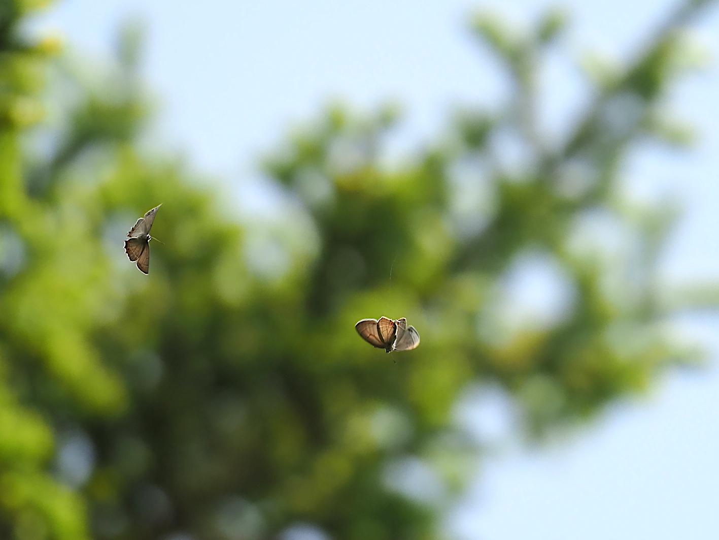 オオミドリシジミの飛翔シーン(2019年6月11日)_d0303129_7252329.jpg