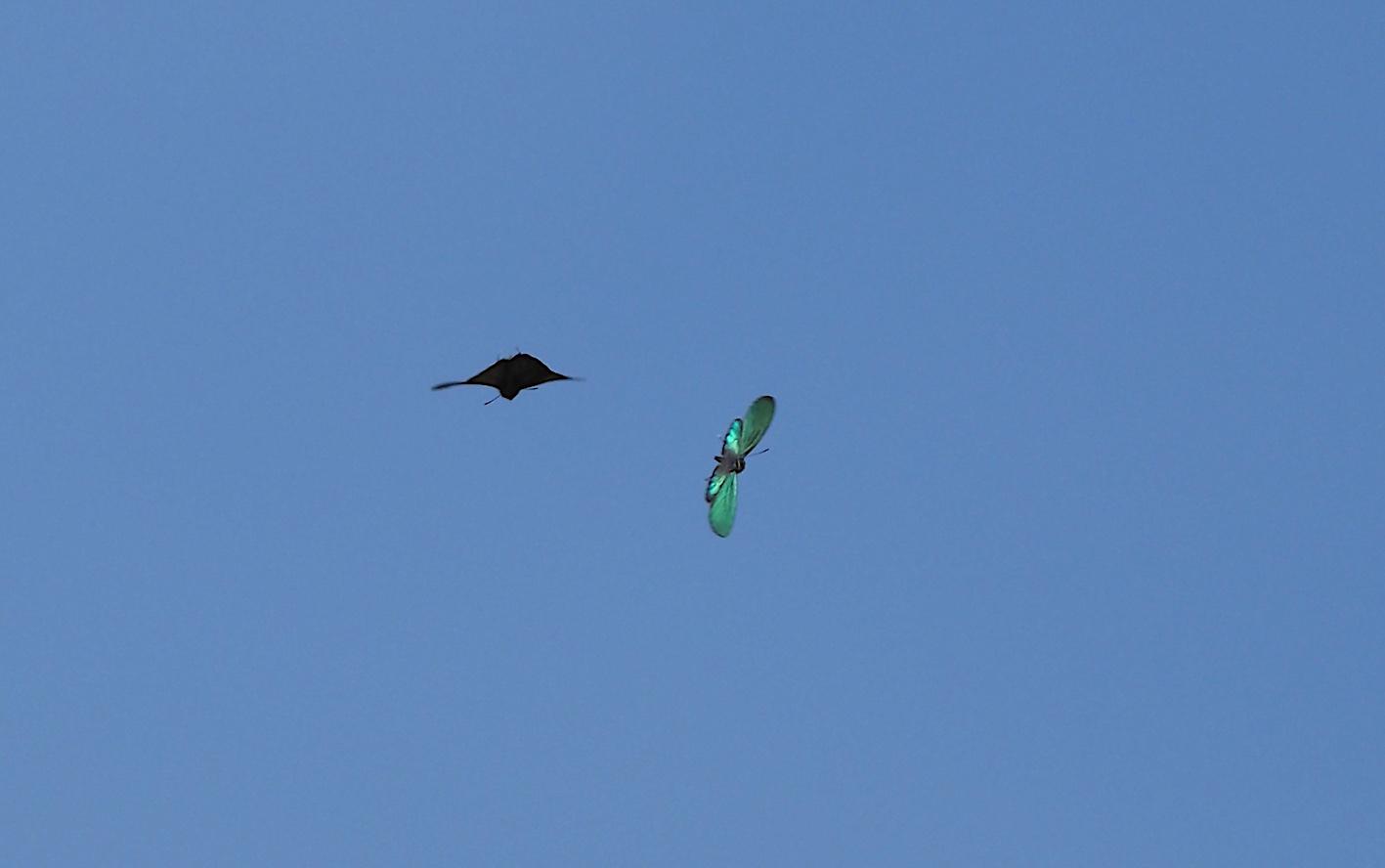 オオミドリシジミの飛翔シーン(2019年6月11日)_d0303129_7254073.jpg