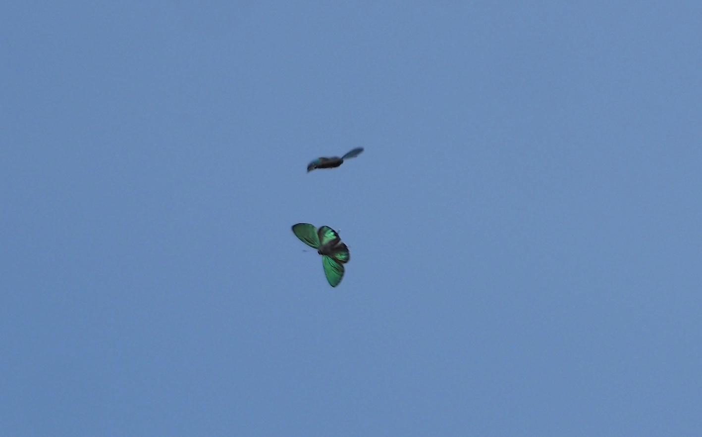 オオミドリシジミの飛翔シーン(2019年6月11日)_d0303129_7254735.jpg