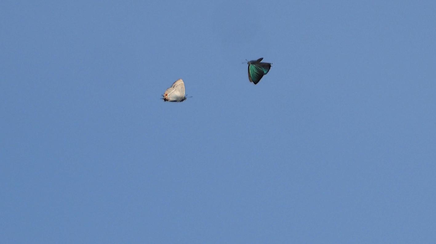 オオミドリシジミの飛翔シーン(2019年6月11日)_d0303129_7255562.jpg