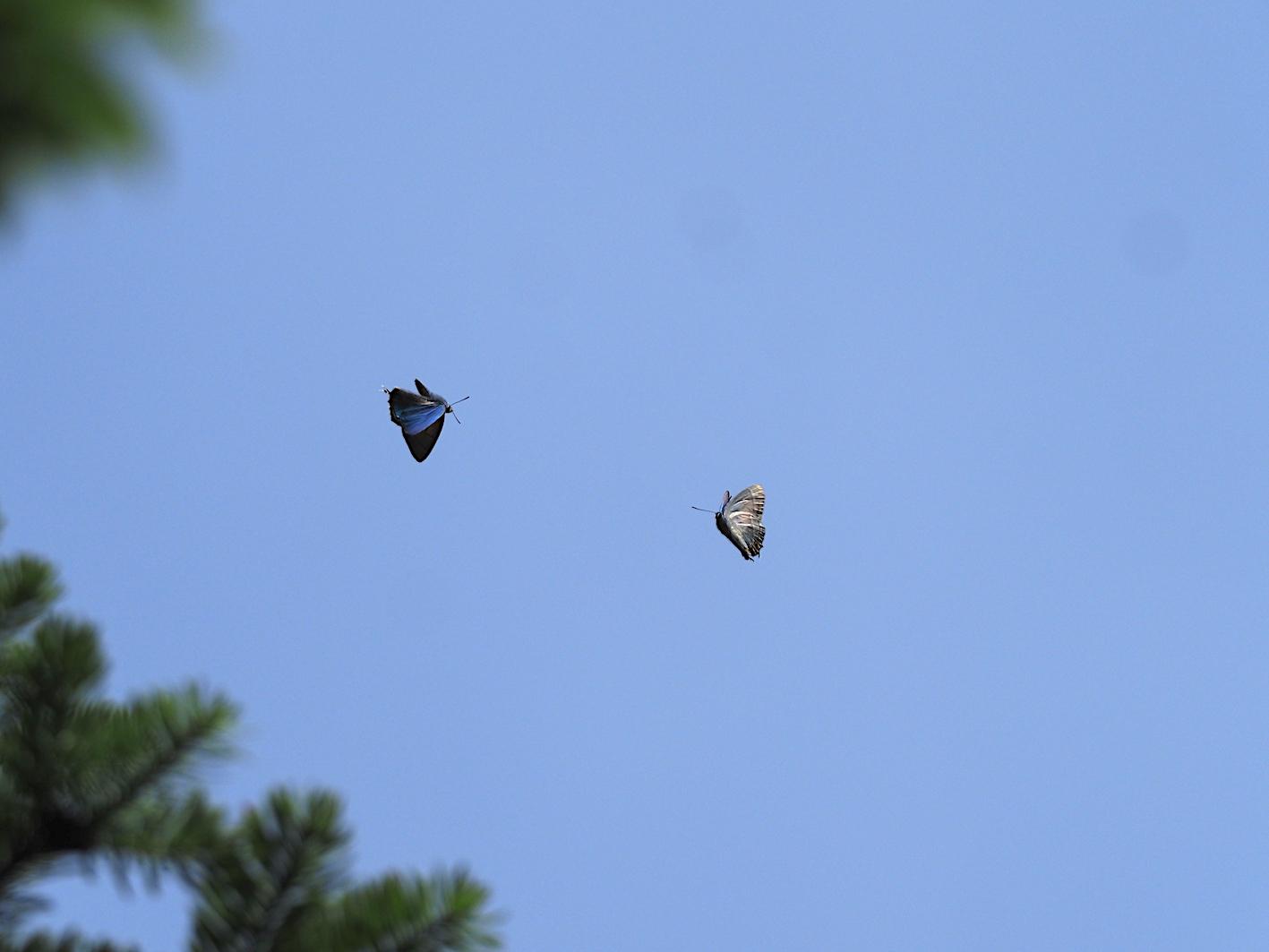 オオミドリシジミの飛翔シーン(2019年6月11日)_d0303129_7261214.jpg
