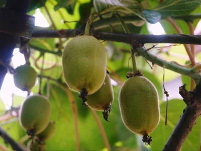 水源キウイ 今年はかなり順調に育ってます!この時期、摘果作業で大きく甘く育てます_a0254656_18022727.jpg