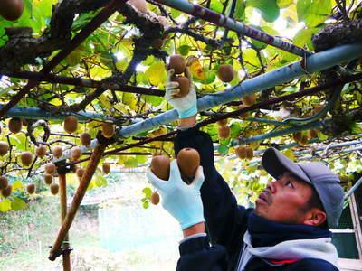 水源キウイ 今年はかなり順調に育ってます!この時期、摘果作業で大きく甘く育てます_a0254656_18053750.jpg