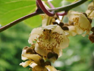 水源キウイ 今年はかなり順調に育ってます!この時期、摘果作業で大きく甘く育てます_a0254656_18140926.jpg