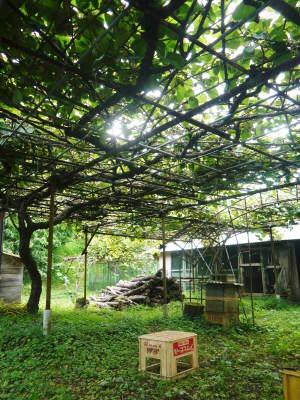 水源キウイ 今年はかなり順調に育ってます!この時期、摘果作業で大きく甘く育てます_a0254656_18153354.jpg