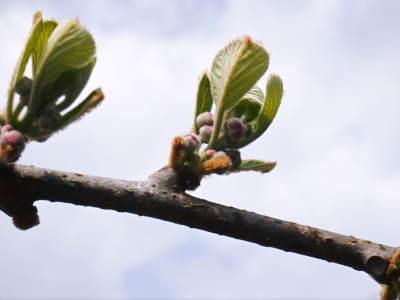 水源キウイ 今年はかなり順調に育ってます!この時期、摘果作業で大きく甘く育てます_a0254656_18191405.jpg