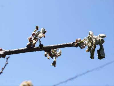 水源キウイ 今年はかなり順調に育ってます!この時期、摘果作業で大きく甘く育てます_a0254656_18211393.jpg