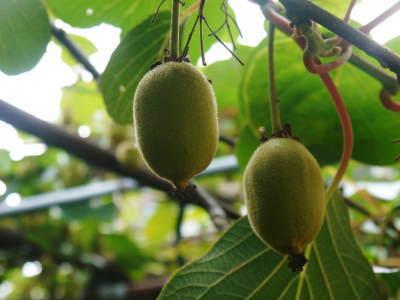 水源キウイ 今年はかなり順調に育ってます!この時期、摘果作業で大きく甘く育てます_a0254656_18251022.jpg