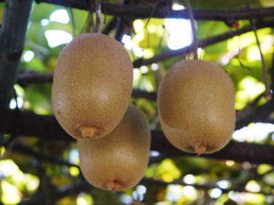水源キウイ 今年はかなり順調に育ってます!この時期、摘果作業で大きく甘く育てます_a0254656_18300588.jpg