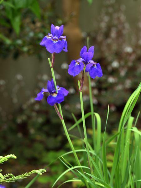 今年も咲きました菖蒲_c0330563_21344023.jpg