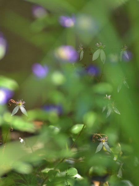 今年も咲きました菖蒲_c0330563_21370651.jpg