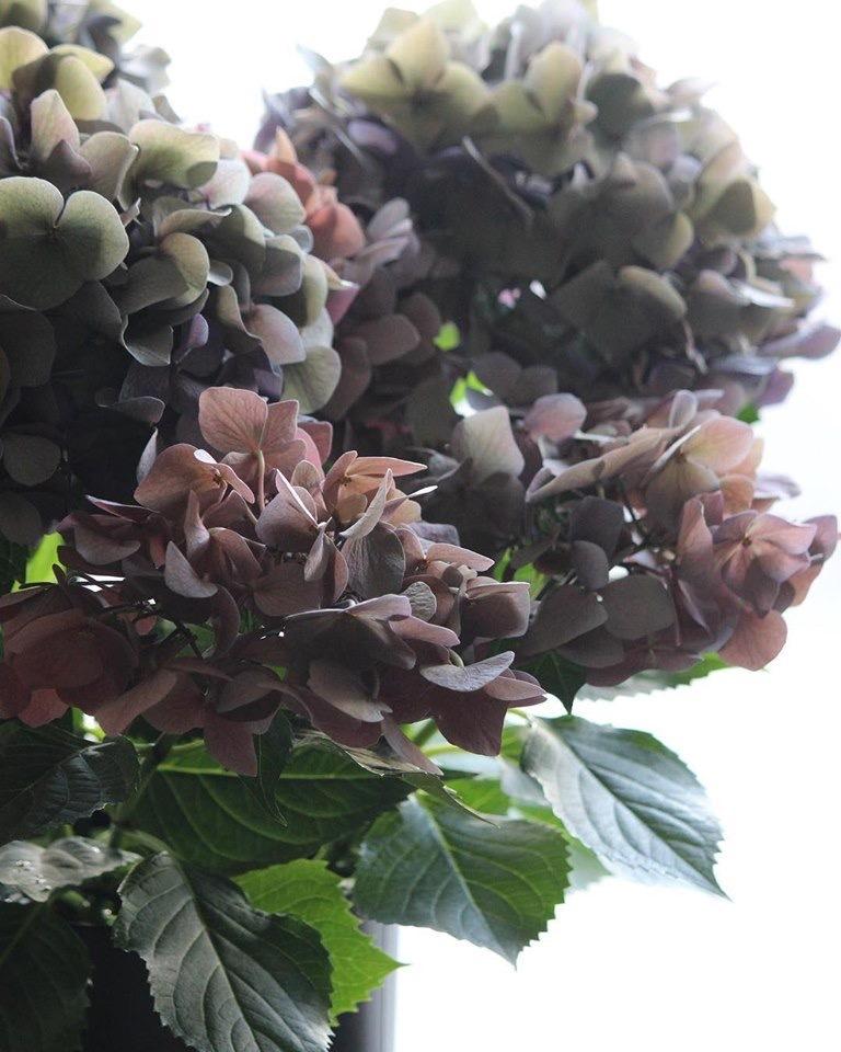 紫陽花の鉢_e0146469_10003195.jpeg