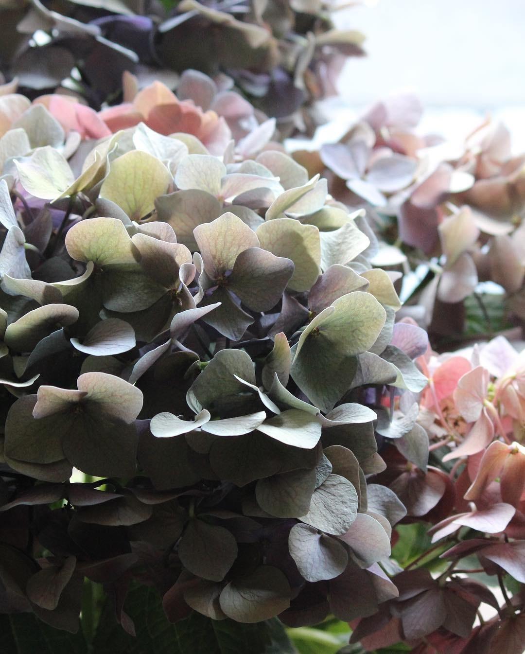 紫陽花の鉢_e0146469_10004659.jpeg