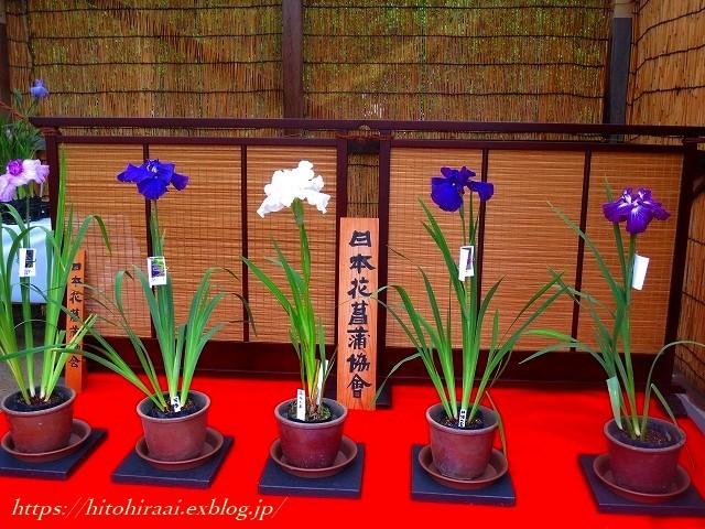 三渓園の花菖蒲_f0374092_00242539.jpg