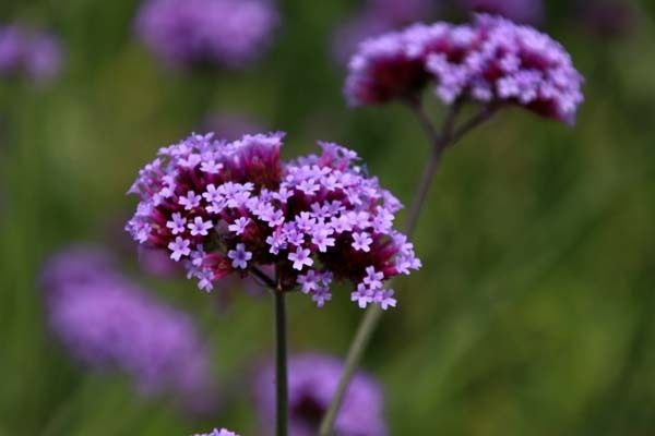 府立植物園 夏花いっぱい_e0048413_18123908.jpg