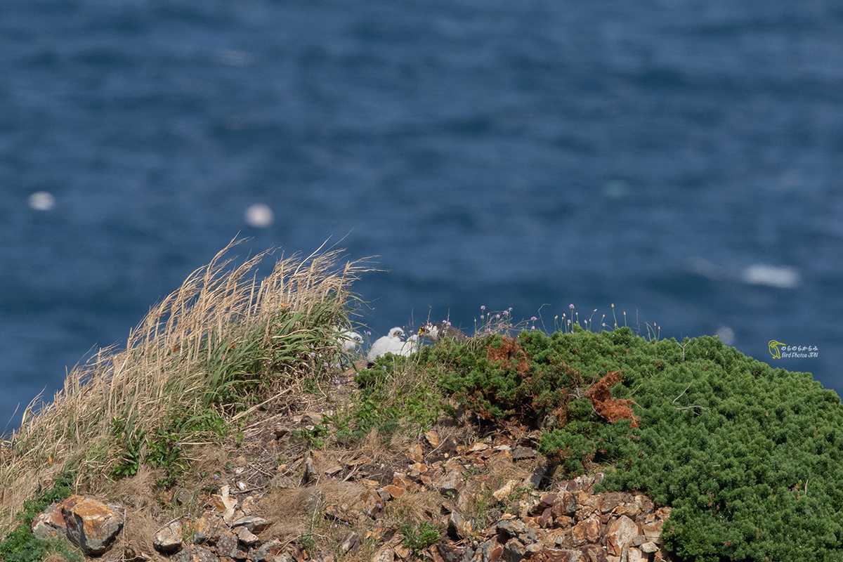 海をバックに『真っ白なハヤブサの雛』遠望_d0360547_15014054.jpg