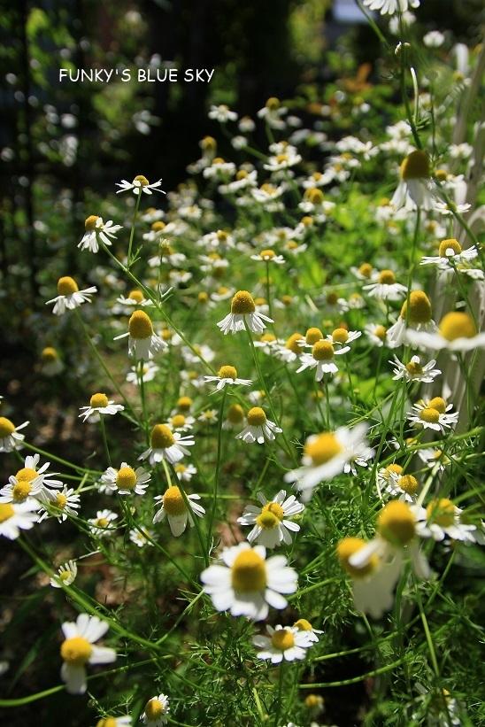 庭の小さなブーケ** (5月22日)_c0145250_11491357.jpg