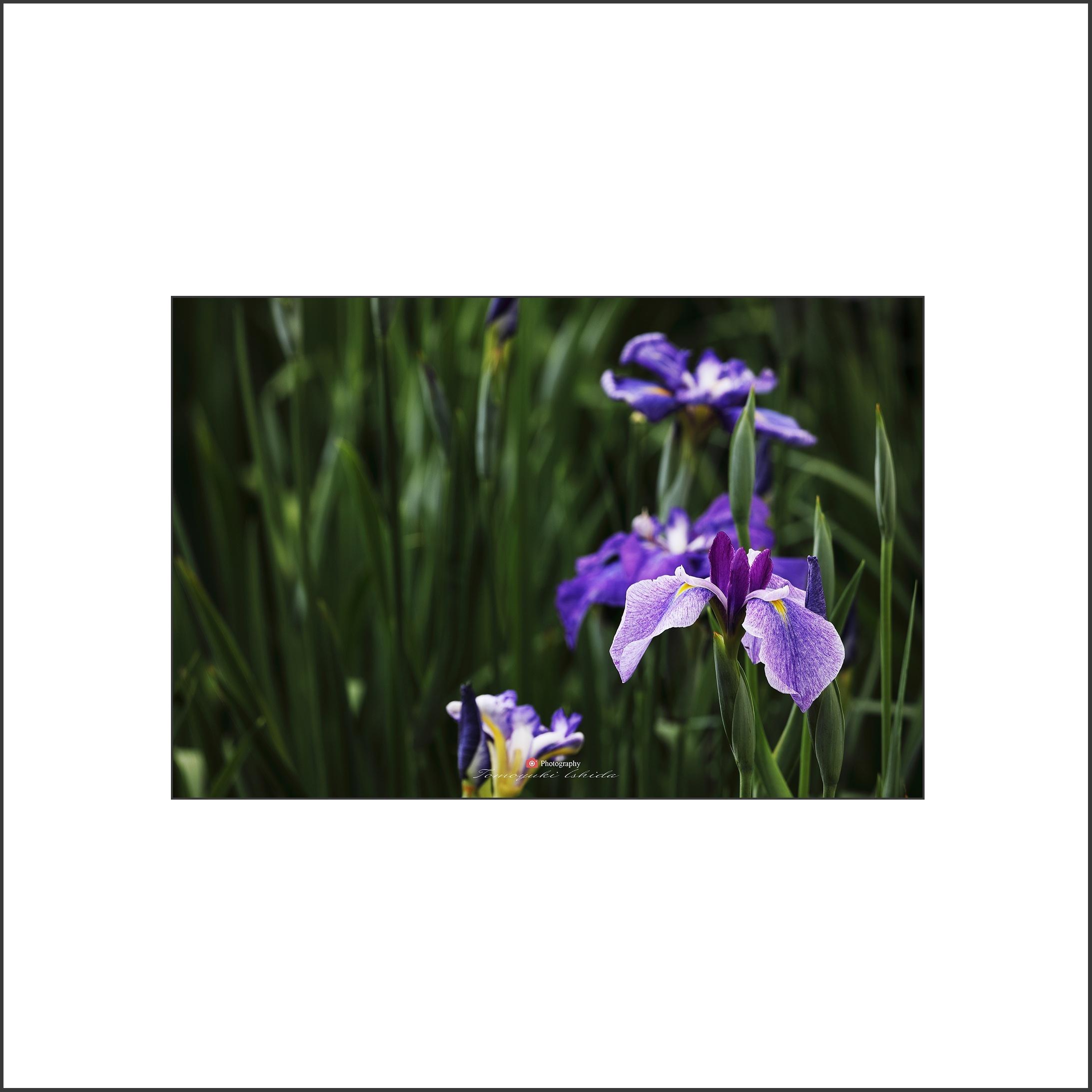 花しょうぶ Ⅱ-2_c0253556_06175083.jpg