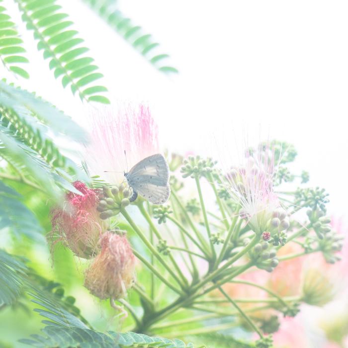 ネムノキのヤマトシジミ。_b0022268_18251739.jpg